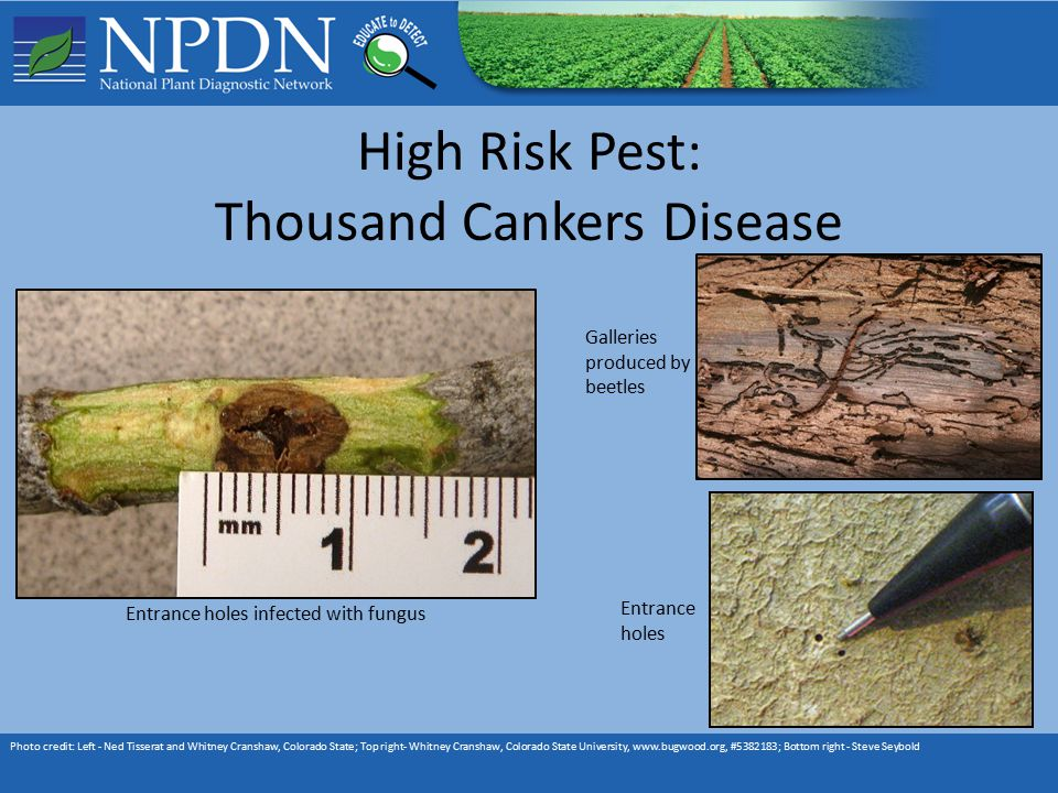 High Risk Pest: Thousand Cankers Disease Photo credit: Left - Ned Tisserat and Whitney Cranshaw, Colorado State; Top right- Whitney Cranshaw, Colorado State University, www.bugwood.org, #5382183; Bottom right - Steve Seybold Entrance holes infected with fungus Galleries produced by beetles Entrance holes