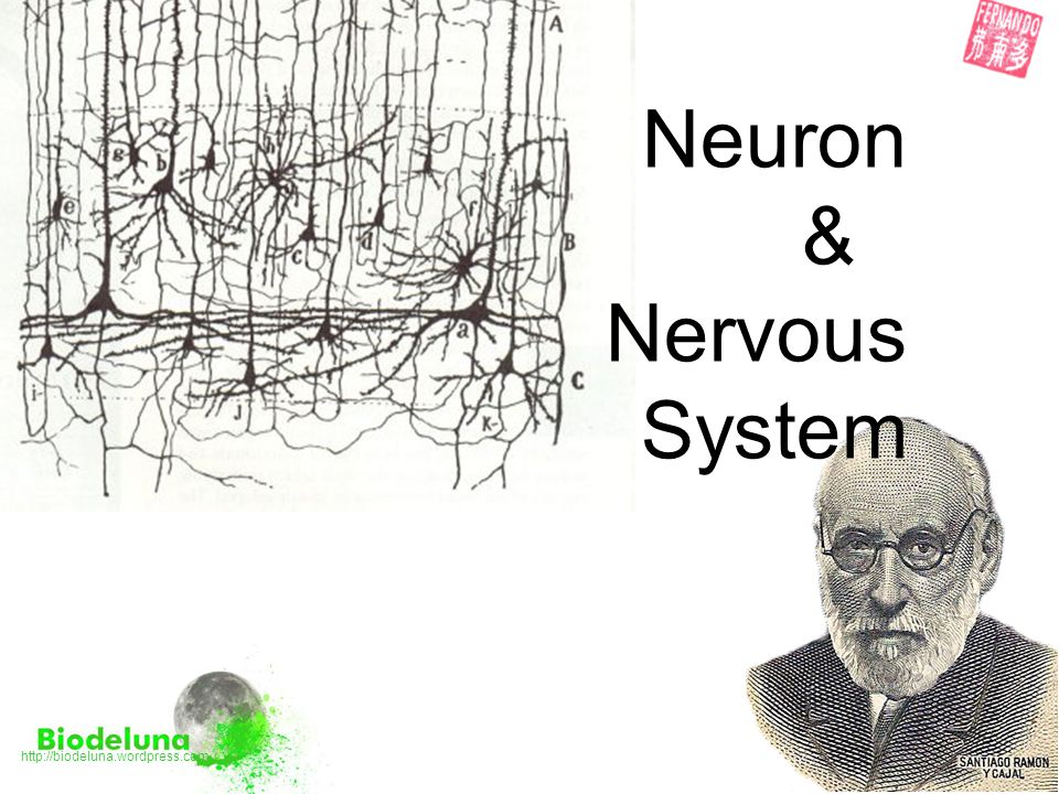 The Synapse ● The junction between two neurons is called a Synapse it forms a physical Gap between the pre-synaptic and post-synaptic neurons ● An action potential (Electrical signal) cannot cross the synaptic gap, so it triggers the release of chemicals (Neurotransmitters) to continue the signal