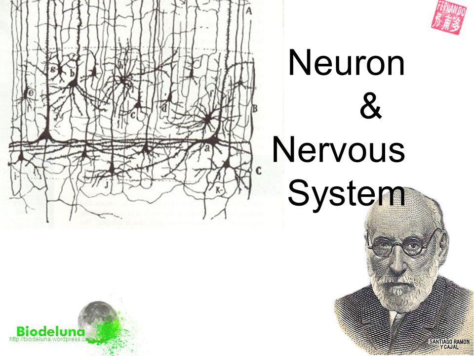 Which one is a …? motor neuron interneuron sensory neuron a)b)C)