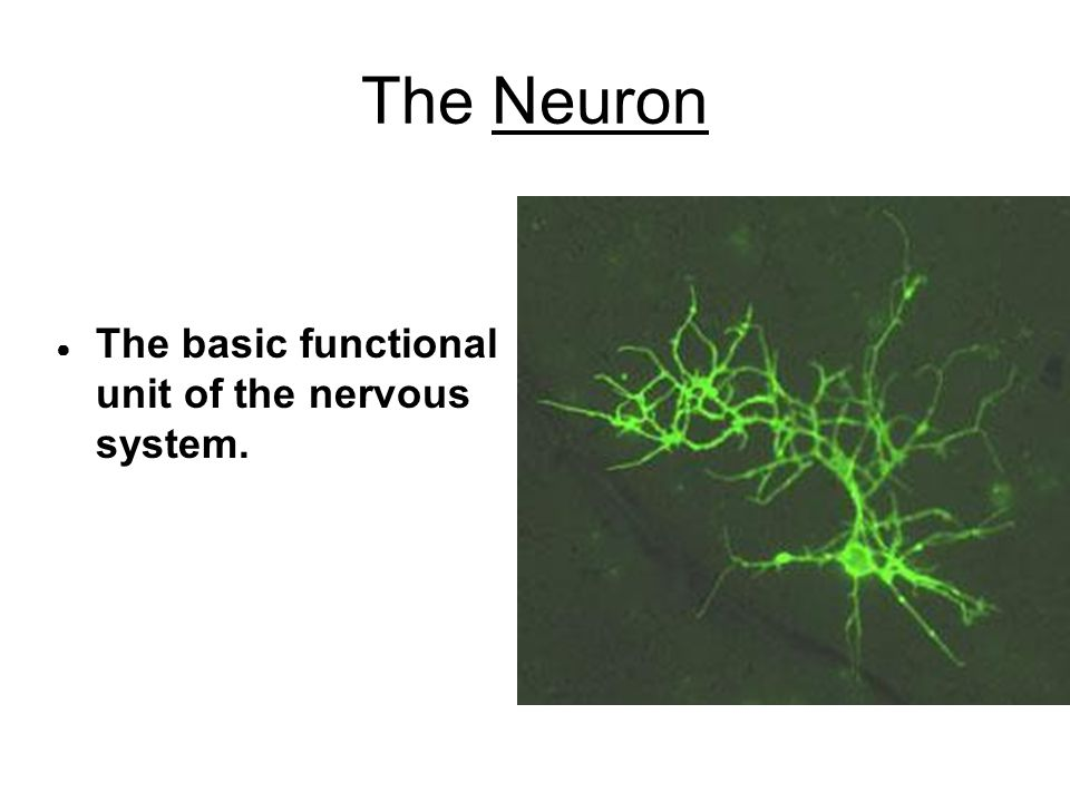 The Neuron ● The basic functional unit of the nervous system.