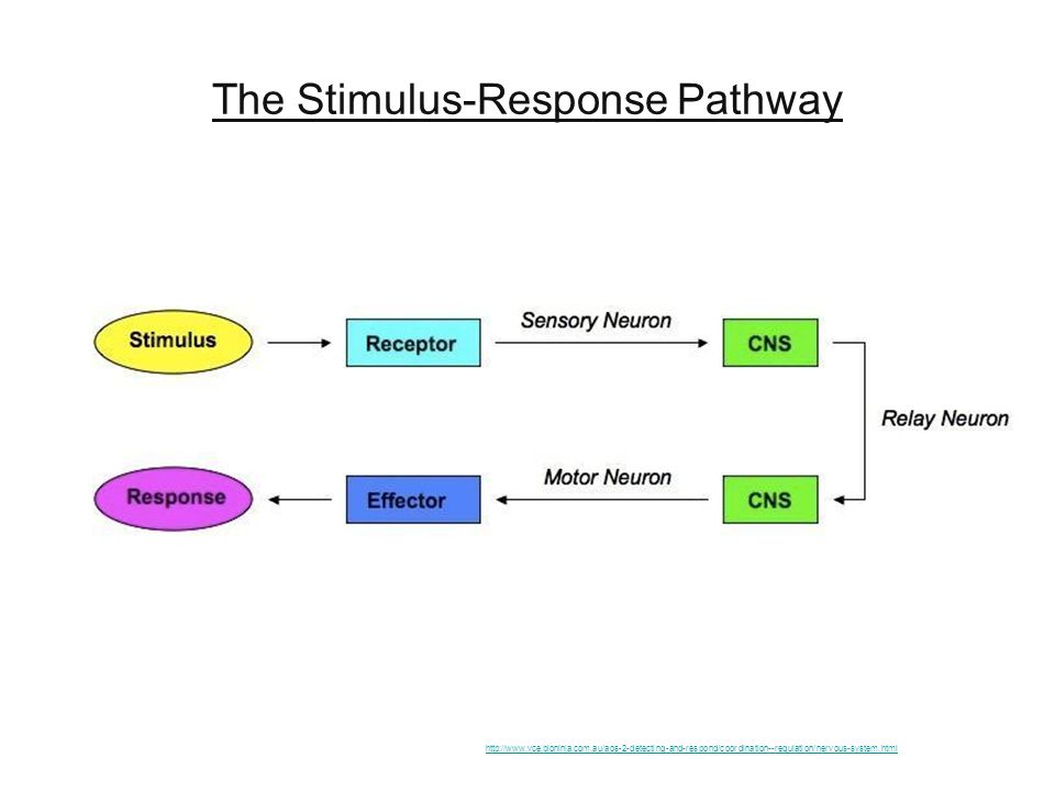 The Stimulus-Response Pathway http://www.vce.bioninja.com.au/aos-2-detecting-and-respond/coordination--regulation/nervous-system.html