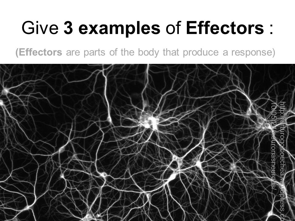 Give 3 examples of Effectors : (Effectors are parts of the body that produce a response) ● a muscle contracting to move an arm ● a muscle squeezing saliva from the salivary gland ● a gland releasing a hormone into the blood