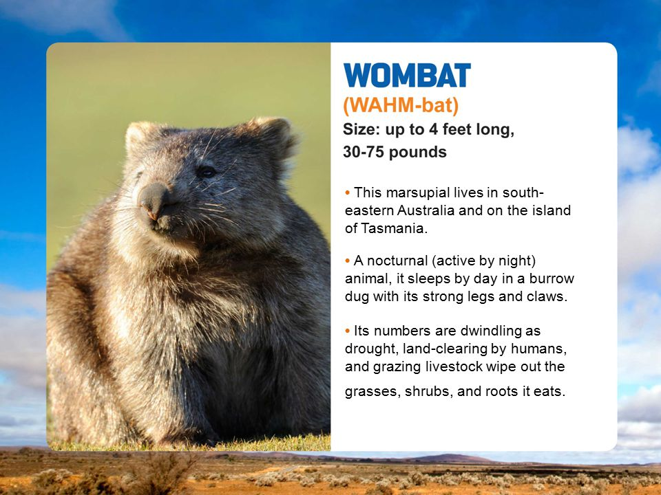 This marsupial lives in south- eastern Australia and on the island of Tasmania.