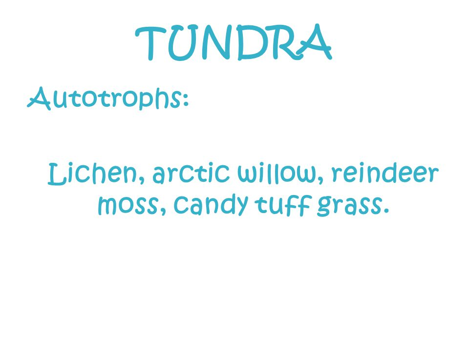 TUNDRA Autotrophs: Lichen, arctic willow, reindeer moss, candy tuff grass.