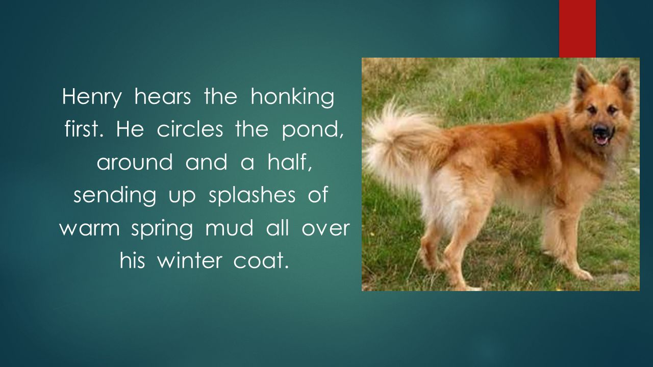 Henry hears the honking first. He circles the pond, around and a half, sending up splashes of warm spring mud all over his winter coat.