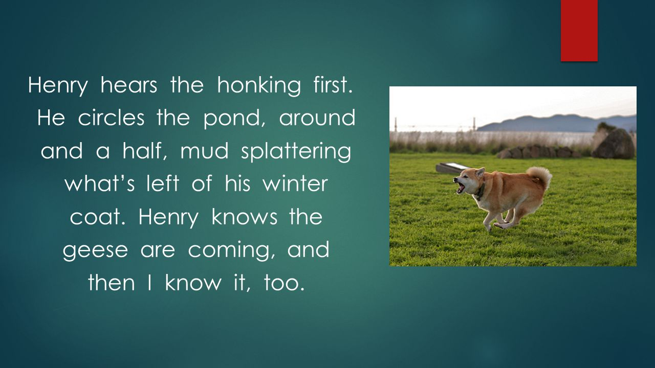 Henry hears the honking first. He circles the pond, around and a half, mud splattering what's left of his winter coat. Henry knows the geese are comin