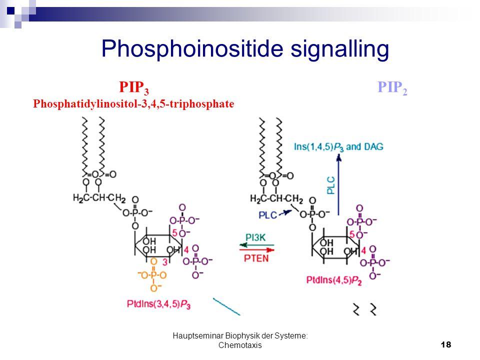 Hauptseminar Biophysik der Systeme: Chemotaxis18 Phosphoinositide signalling PIP 2 PIP 3 Phosphatidylinositol-3,4,5-triphosphate