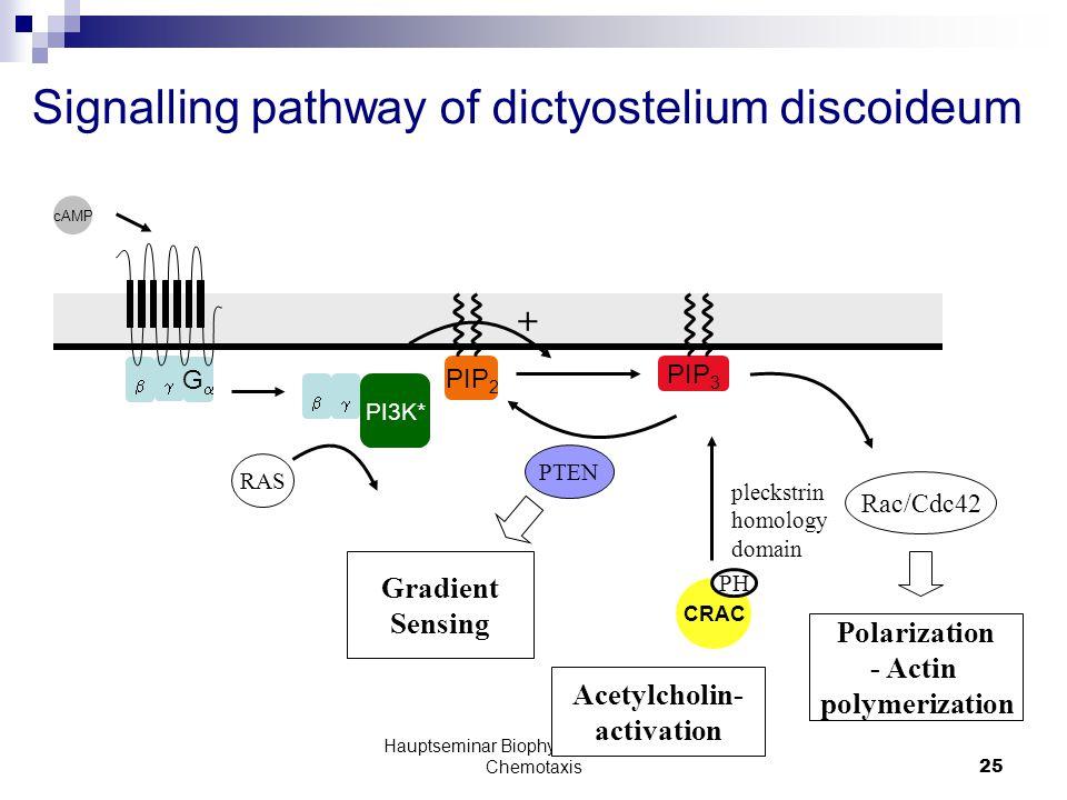 Hauptseminar Biophysik der Systeme: Chemotaxis25   GG Signalling pathway of dictyostelium discoideum PIP 2 PIP 3 CRAC cAMP PI3K*  PH PTEN Rac/Cdc42 Polarization - Actin polymerization RAS Gradient Sensing pleckstrin homology domain + Acetylcholin- activation