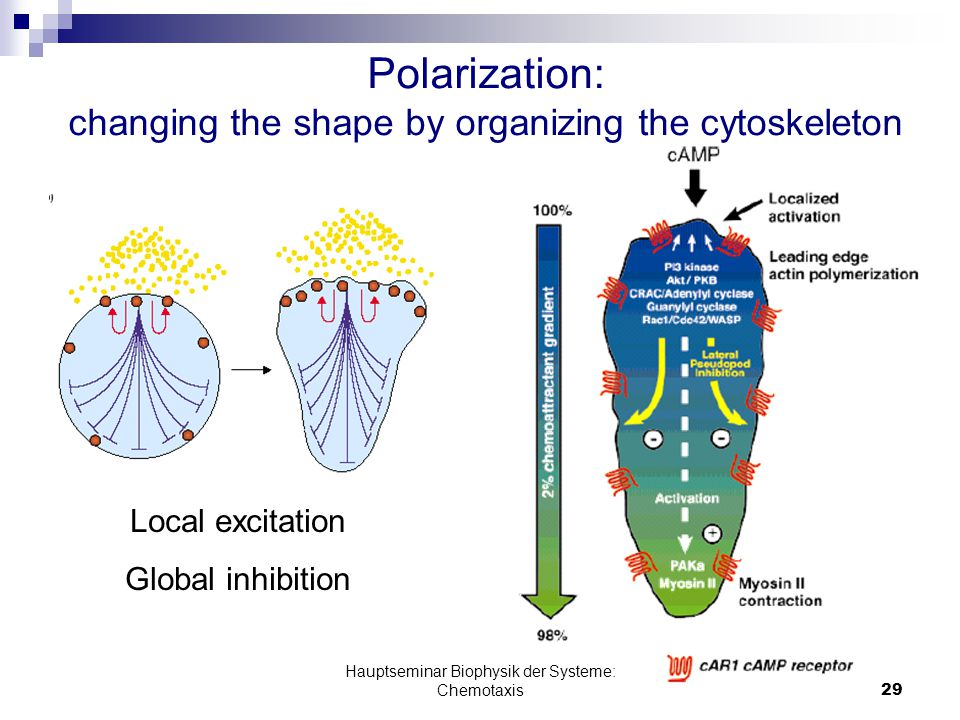 Hauptseminar Biophysik der Systeme: Chemotaxis29 Polarization: changing the shape by organizing the cytoskeleton Local excitation Global inhibition