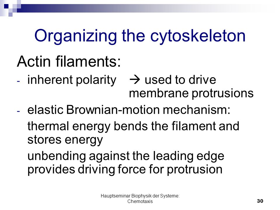 Hauptseminar Biophysik der Systeme: Chemotaxis30 Organizing the cytoskeleton Actin filaments: - inherent polarity  used to drive membrane protrusions - elastic Brownian-motion mechanism: thermal energy bends the filament and stores energy unbending against the leading edge provides driving force for protrusion