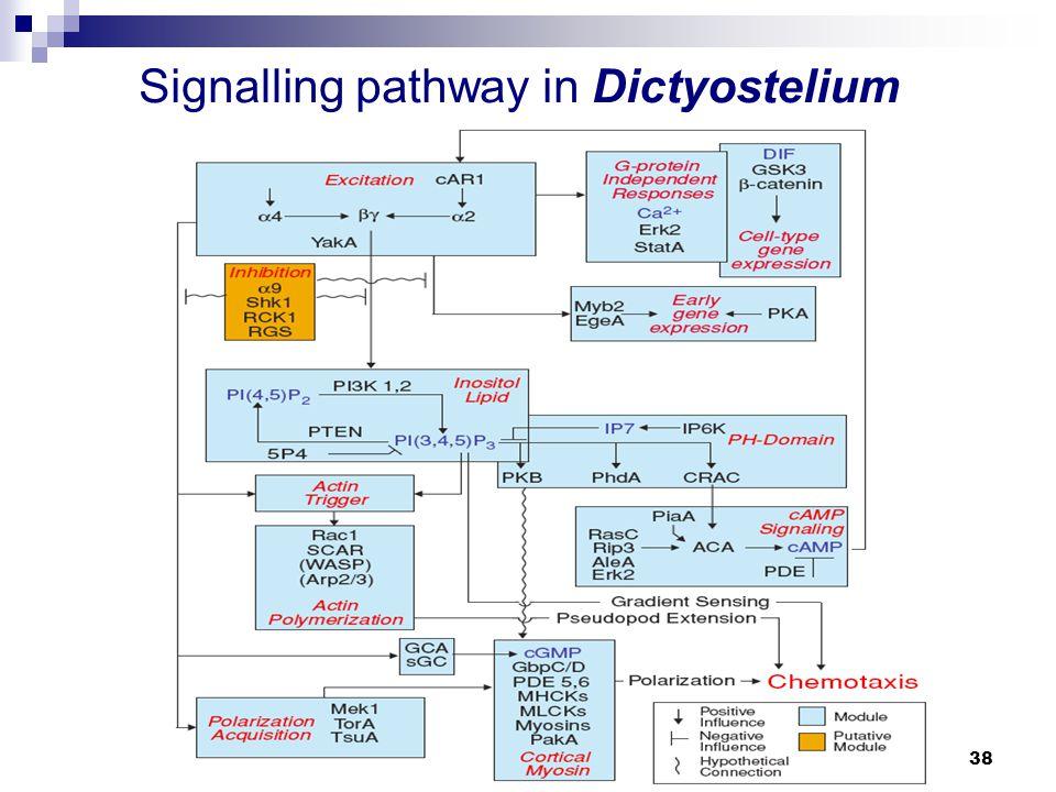 Hauptseminar Biophysik der Systeme: Chemotaxis38 Signalling pathway in Dictyostelium