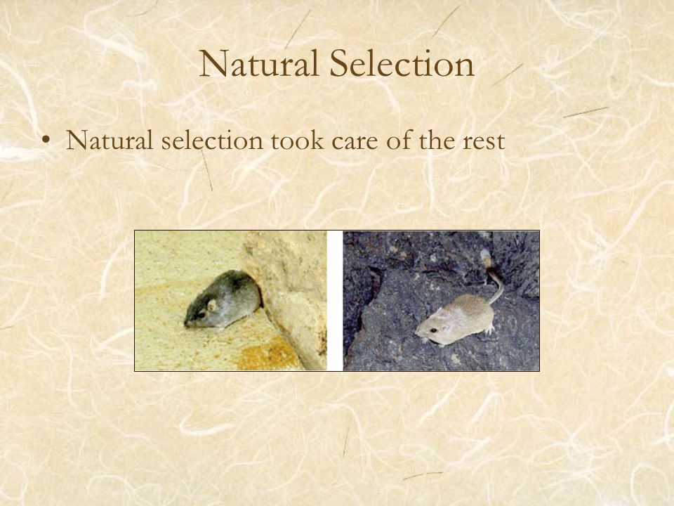 Natural Selection Natural selection took care of the rest