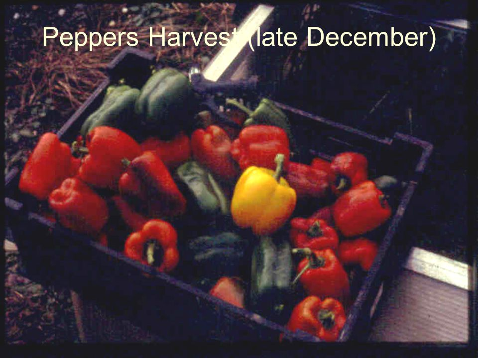 Peppers Harvest (late December)