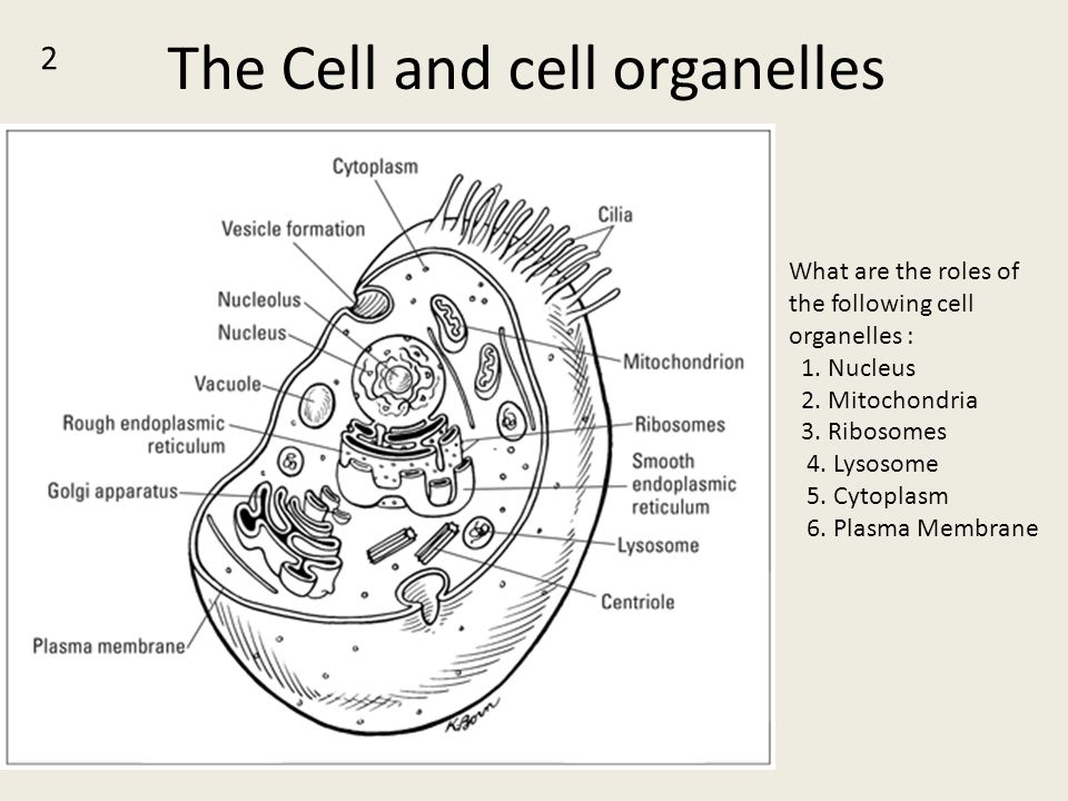 The Cell and cell organelles 2 What are the roles of the following cell organelles : 1. Nucleus 2. Mitochondria 3. Ribosomes 4. Lysosome 5. Cytoplasm