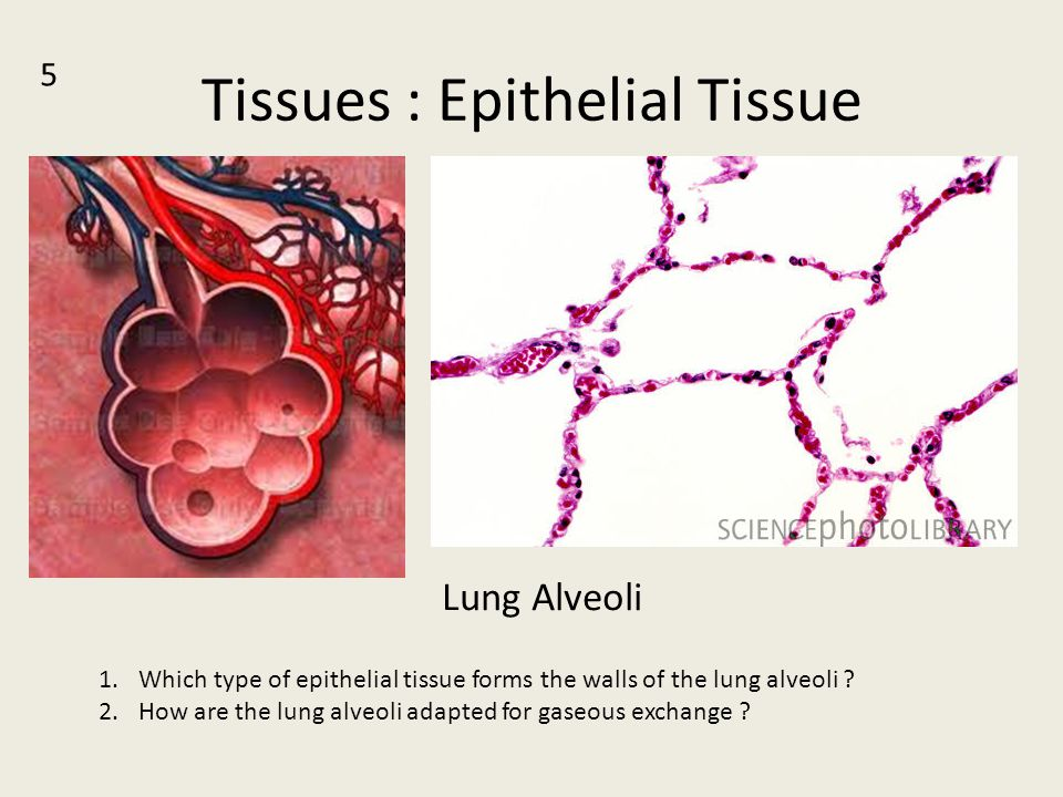 Tissues : Epithelial Tissue Lung Alveoli 5 1.Which type of epithelial tissue forms the walls of the lung alveoli ? 2.How are the lung alveoli adapted