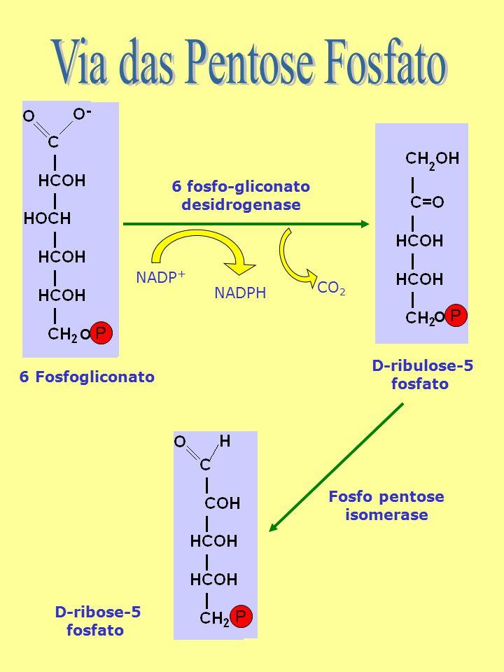 O P O P D-ribulose-5 fosfato NADPH NADP + 6 fosfo-gliconato desidrogenase CO 2 6 Fosfogliconato D-ribose-5 fosfato Fosfo pentose isomerase P