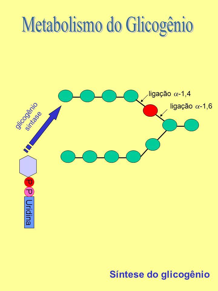 ligação  -1,6 ligação  -1,4 glicogênio sintase PUridinaP Síntese do glicogênio