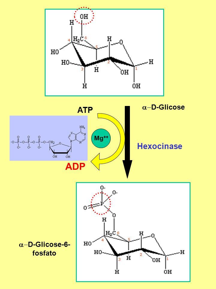 Hexocinase ADP ATP  D-Glicose-6- fosfato  D-Glicose Mg ++ 6 5 4 3 2 1 1 2 3 4 5 6