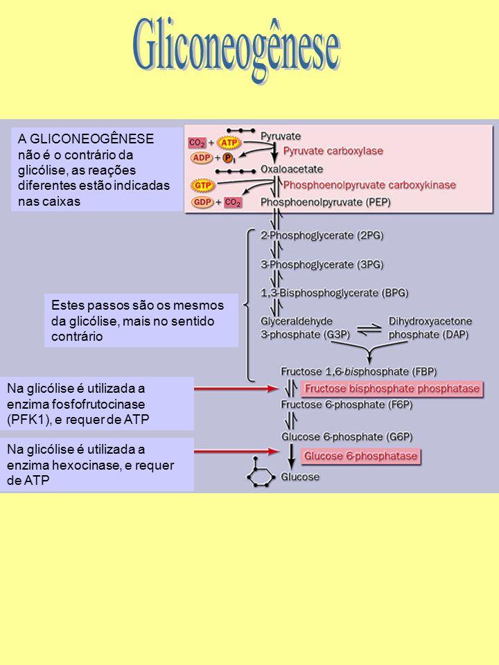 Estes passos são os mesmos da glicólise, mais no sentido contrário A GLICONEOGÊNESE não é o contrário da glicólise, as reações diferentes estão indica