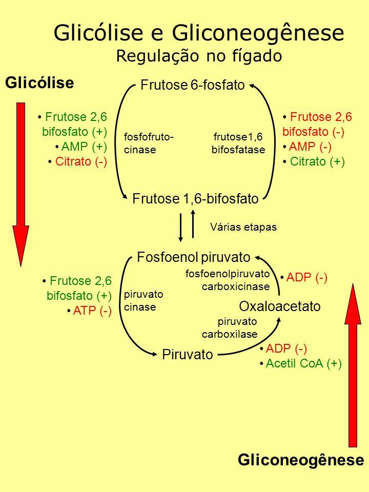 Glicólise e Gliconeogênese Regulação no fígado Glicólise Gliconeogênese Frutose 6-fosfato Frutose 1,6-bifosfato Frutose 2,6 bifosfato (+) AMP (+) Citr