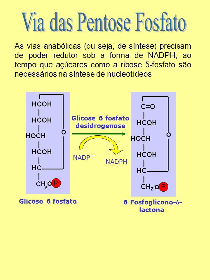 As vias anabólicas (ou seja, de síntese) precisam de poder redutor sob a forma de NADPH, ao tempo que açúcares como a ribose 5-fosfato são necessários