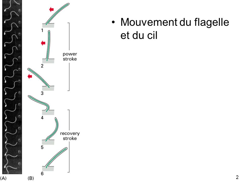 2 Fig 16-76 Mouvement du flagelle et du cil