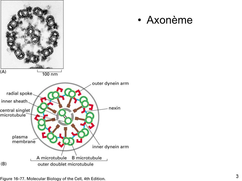 3 Fig 16-77 Axonème