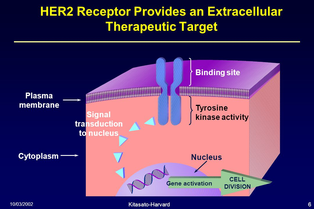 6Kitasato-Harvard Symposium 10/03/2002 HER2 Receptor Provides an Extracellular Therapeutic Target Signal transduction to nucleus Nucleus Binding site Tyrosine kinase activity Cytoplasm Plasma membrane Gene activation CELL DIVISION