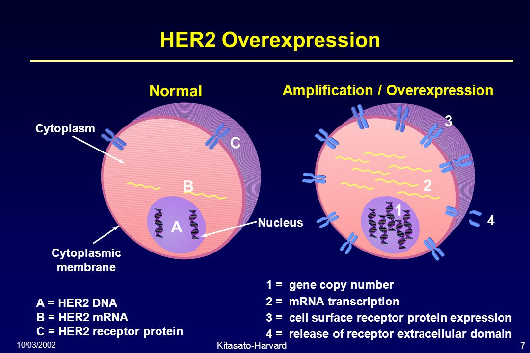 7Kitasato-Harvard Symposium 10/03/2002 HER2 Overexpression 1 =  gene copy number 2 =  mRNA transcription 3 =  cell surface receptor protein expression 4 =  release of receptor extracellular domain A = HER2 DNA B = HER2 mRNA C = HER2 receptor protein Normal Amplification / Overexpression Nucleus Cytoplasm Cytoplasmic membrane 1 2 3 4 C B A
