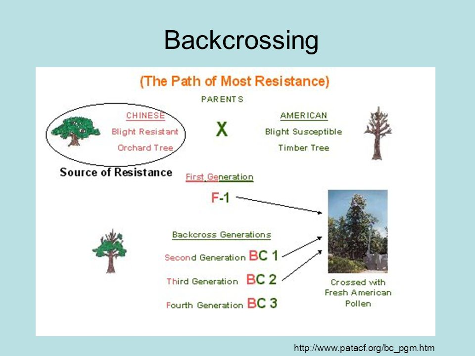 What is a Back-Cross.-You take two different trees (Chinese and American) and cross them.