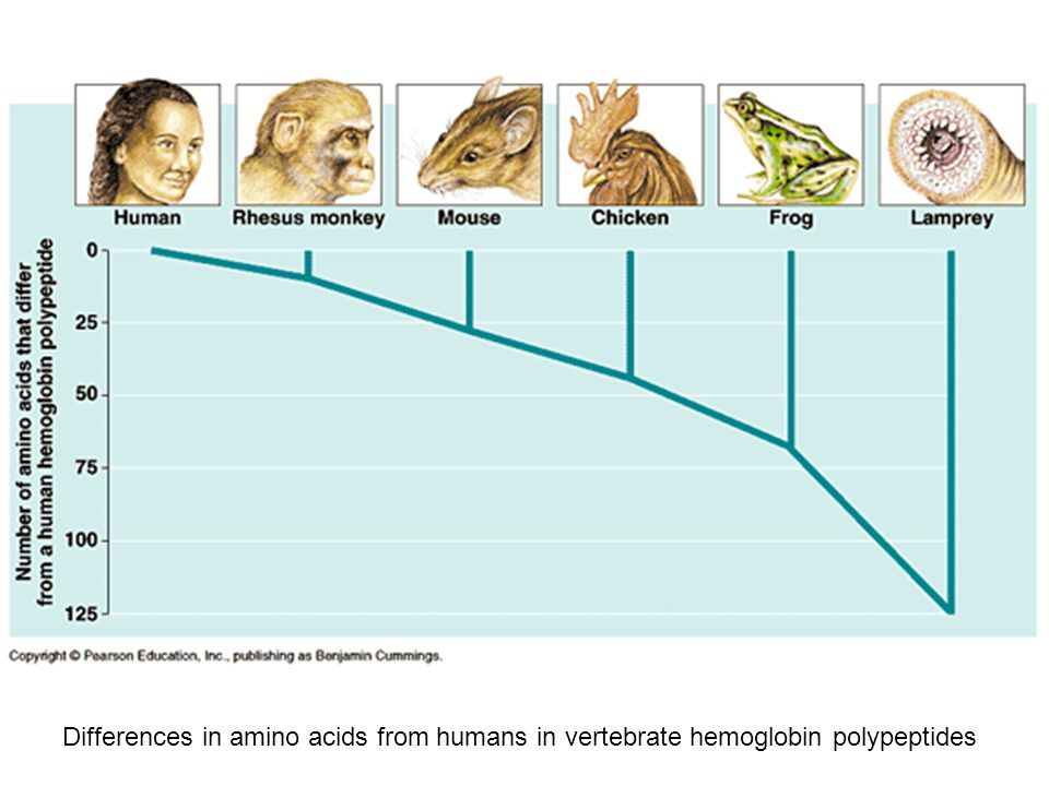 Differences in amino acids from humans in vertebrate hemoglobin polypeptides