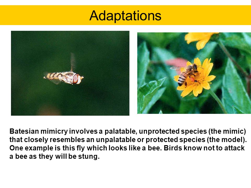 Batesian mimicry involves a palatable, unprotected species (the mimic) that closely resembles an unpalatable or protected species (the model). One exa