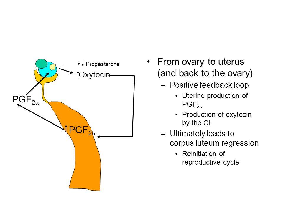 Diversion of PGF 2  secretion –Pigs Non-pregnant –Endocrine factor Conceptus –Divert secretion(exocrine) –Estradiol Increased production during 11-12 days post coitus –Conceptus