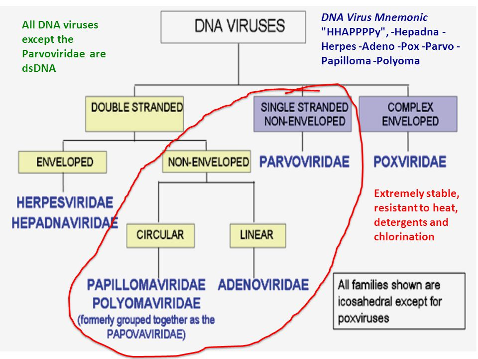 Extremely stable, resistant to heat, detergents and chlorination All DNA viruses except the Parvoviridae are dsDNA DNA Virus Mnemonic