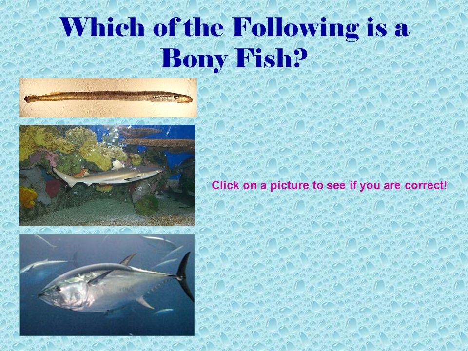 Bony Fish Bony fish have scales, well-developed sense organs, fins, and skeletons made of bone.