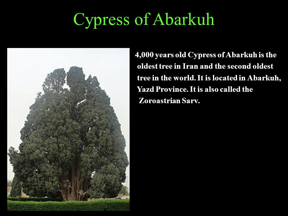 Cypress of Abarkuh 4,000 years old Cypress of Abarkuh is the oldest tree in Iran and the second oldest tree in the world.
