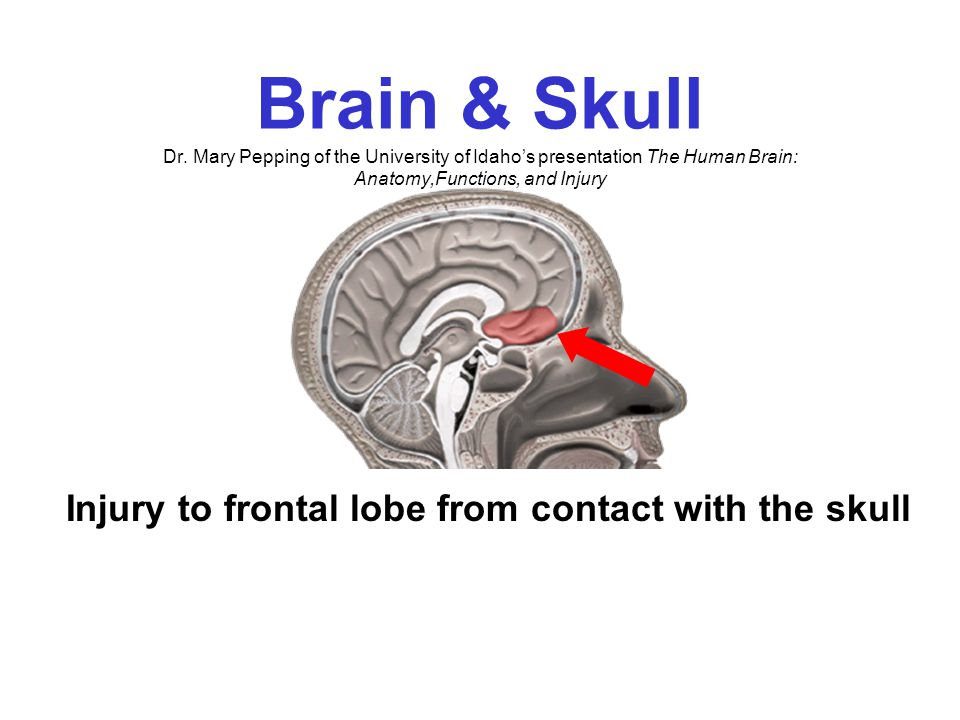 Skull Anatomy Dr. Mary Pepping of the University of Idaho's presentation The Human Brain: Anatomy,Functions, and Injury Bony ridges The skull is a rou