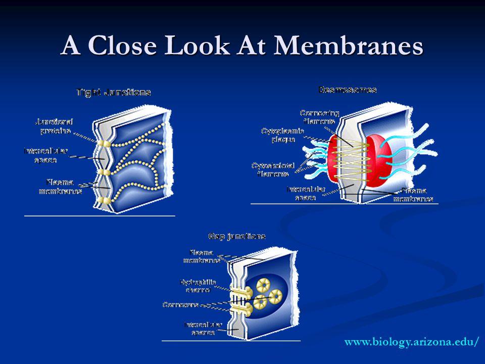 A Close Look At Membranes www.biology.arizona.edu/