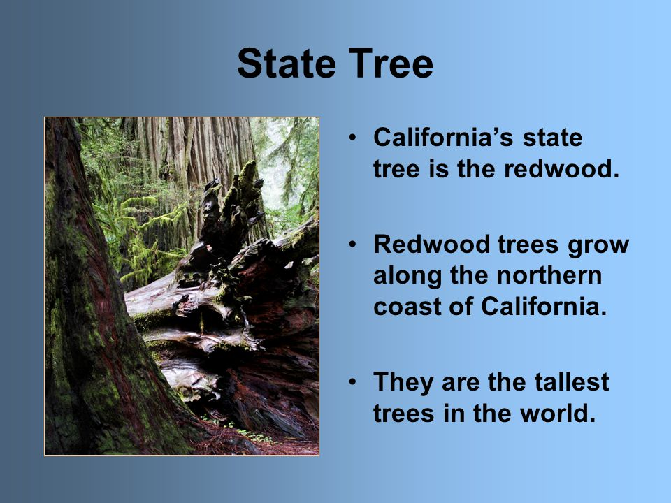 State Tree California's state tree is the redwood.