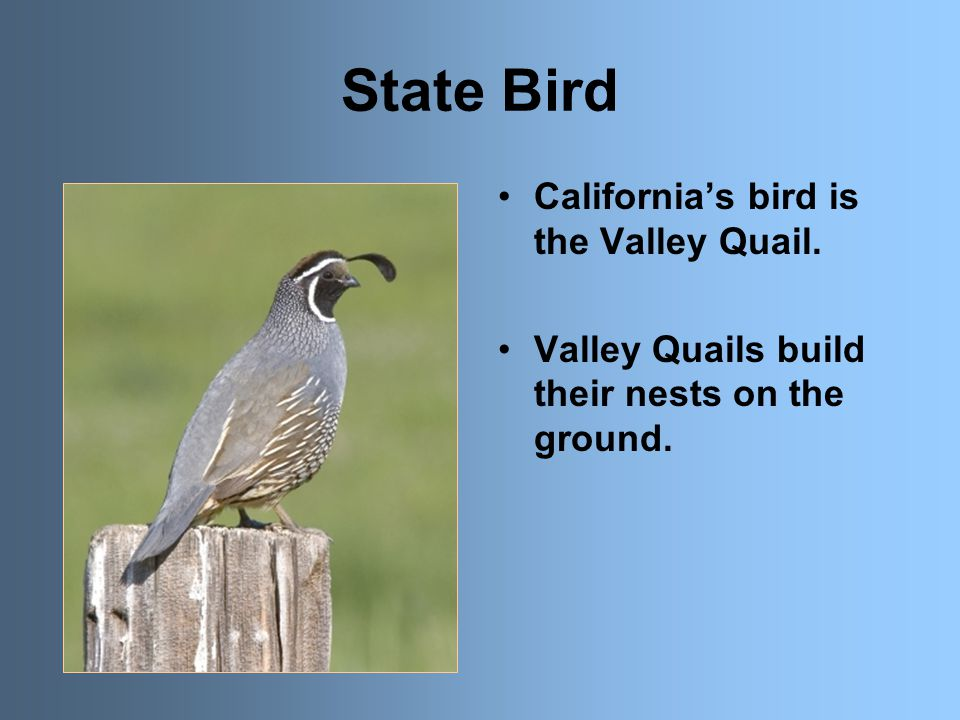 State Bird California's bird is the Valley Quail. Valley Quails build their nests on the ground.