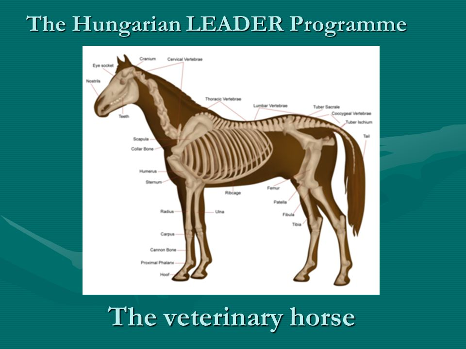 The veterinary horse The Hungarian LEADER Programme
