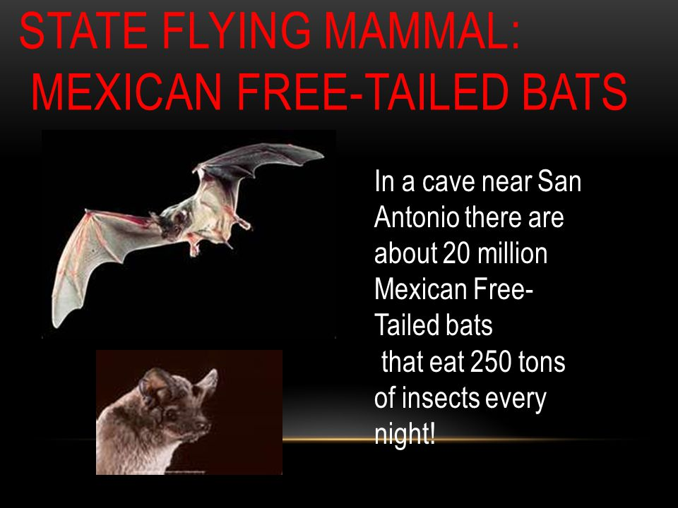 STATE FLYING MAMMAL: MEXICAN FREE-TAILED BATS In a cave near San Antonio there are about 20 million Mexican Free- Tailed bats that eat 250 tons of insects every night!