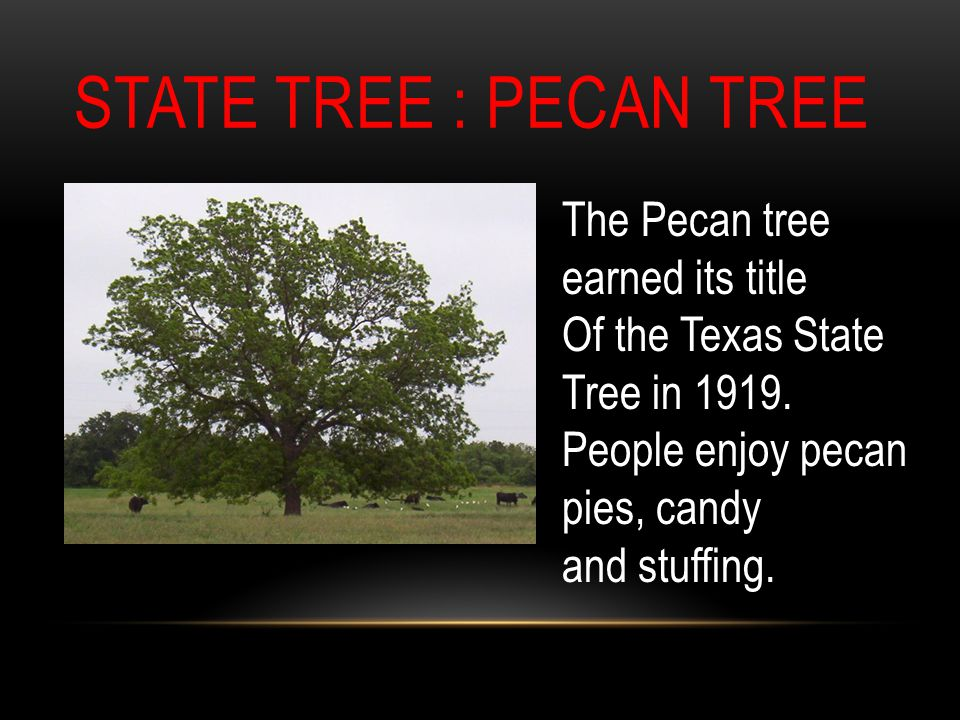 STATE TREE : PECAN TREE The Pecan tree earned its title Of the Texas State Tree in 1919.