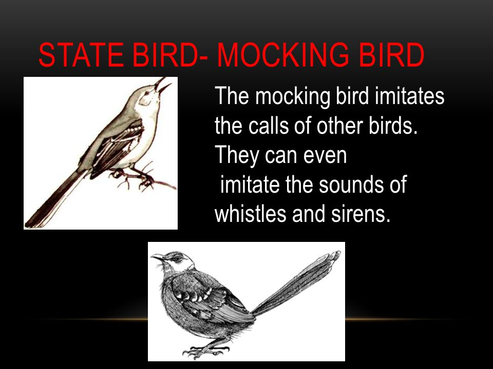 STATE BIRD- MOCKING BIRD The mocking bird imitates the calls of other birds.