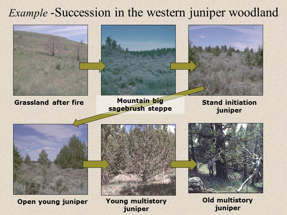 Example -Succession in the western juniper woodland Grassland after fireStand initiation juniper Open young juniper Young multistory juniper Old multistory juniper Mountain big sagebrush steppe