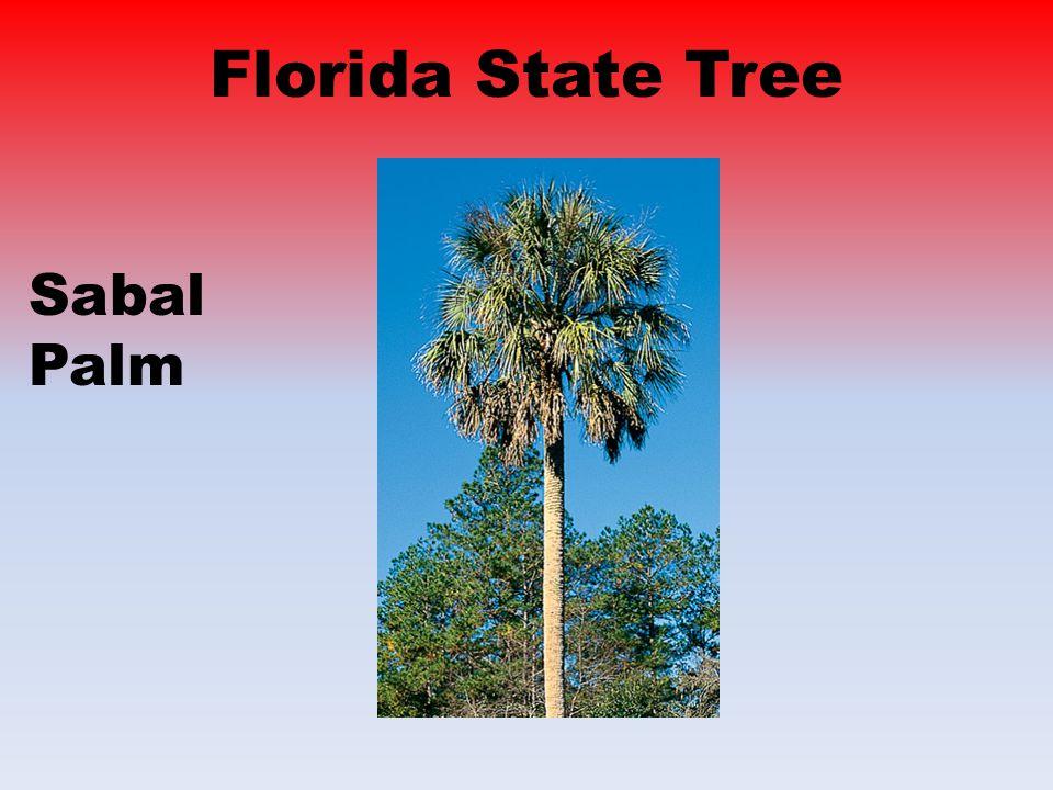 Florida State Tree Sabal Palm