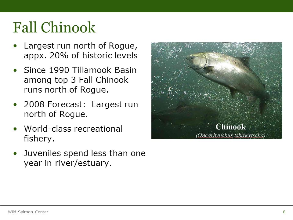 Wild Salmon Center9 Chum Southernmost significant run in United States Small fraction of historic abundance Miami and Kilchis support the largest runs in Oregon Spawn low in basin 2 weeks – 1 month in river