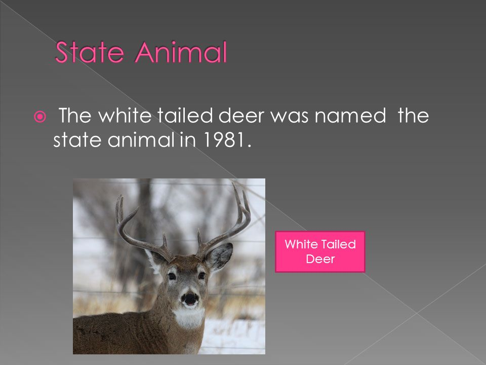  The white tailed deer was named the state animal in 1981. White Tailed Deer