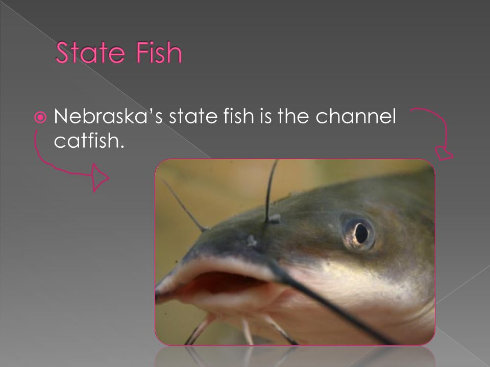  Nebraska's state fish is the channel catfish.