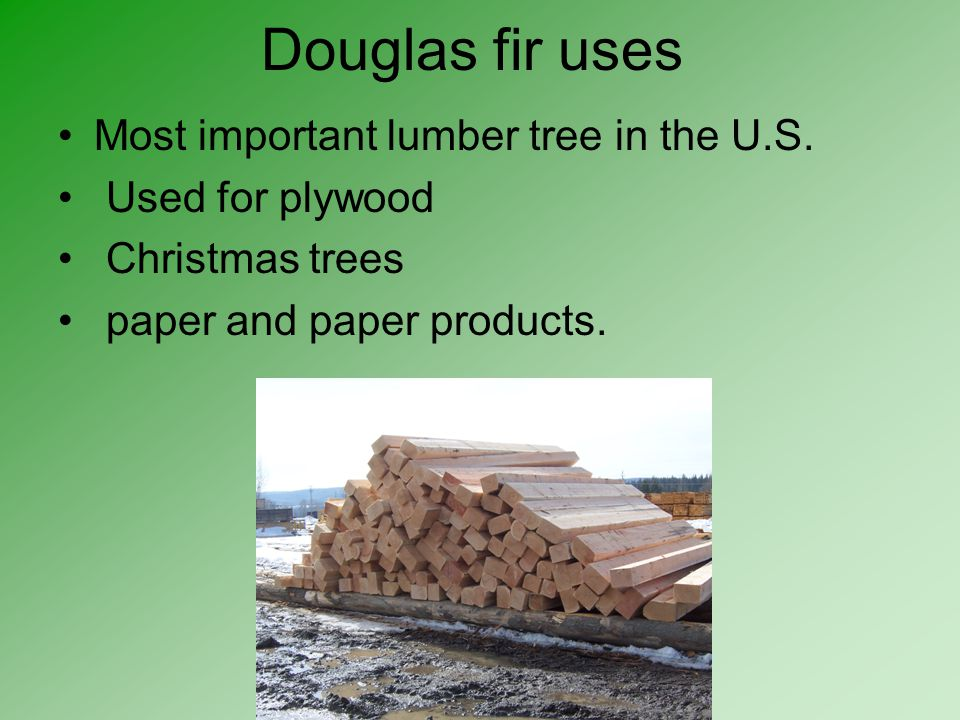 Douglas fir uses Most important lumber tree in the U.S.